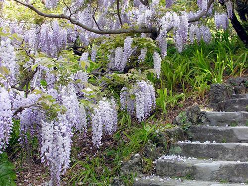 Giardini Botanici Villa Hanbury piante viola