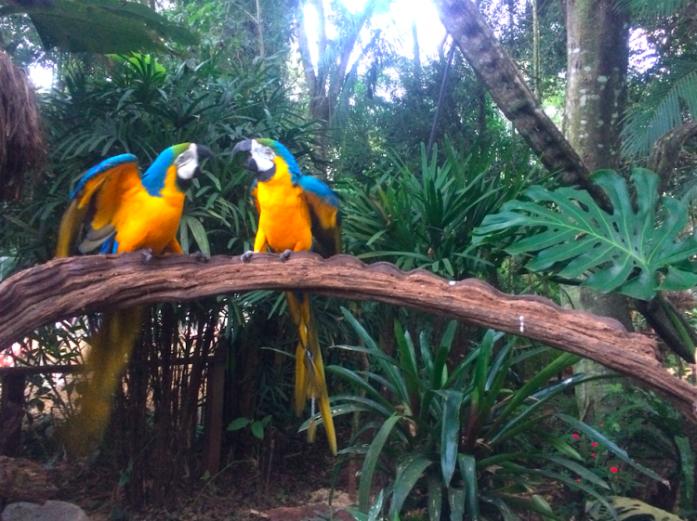 perroquets-parc-national-do-iguacu-png