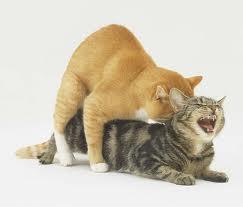 صورة التزاوج  في القطط