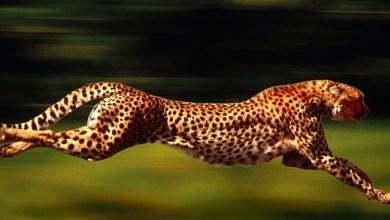 صورة أسرع 10 حيوانات في العالم , ما هو اسرع حيوان