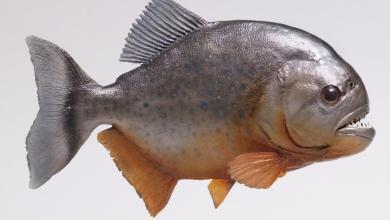 صورة سمكة البيرانا المتوحشة