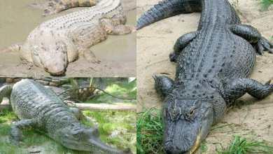 صورة تمساح النيل المصري وباقي أنواع التماسيح في العالم