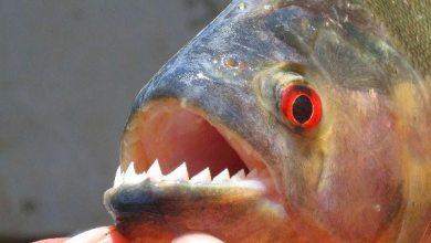 صورة سمكة البيرانا أكلة لحوم البشر من أخطر الأسماك