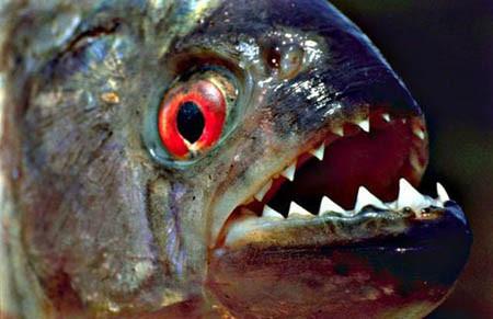 صورة سمكة البيرانا