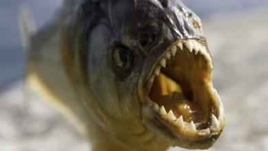 صورة أخطر 10 أسماك في العالم بالصور
