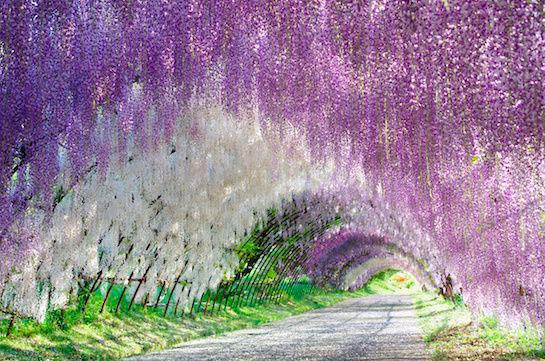 Wisteria Tunnel, Kitakyushu, Japan