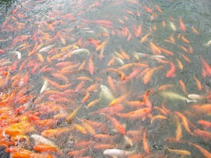 Hawaii Vacation - Dole Plantation Fish Pond