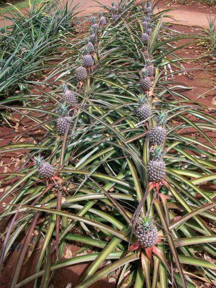 Hawaii Vacation - Dole Plantation Pineapples