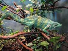Lincoln Park Zoo - chameleon