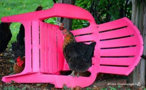 Having a Seat, Chicken Style