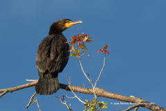 Double-Crested Cormorant Taking Autumn Sun On Cigar Island, West Rush Lake
