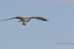 Male Osprey In Flight With Fish, West Rush Lake