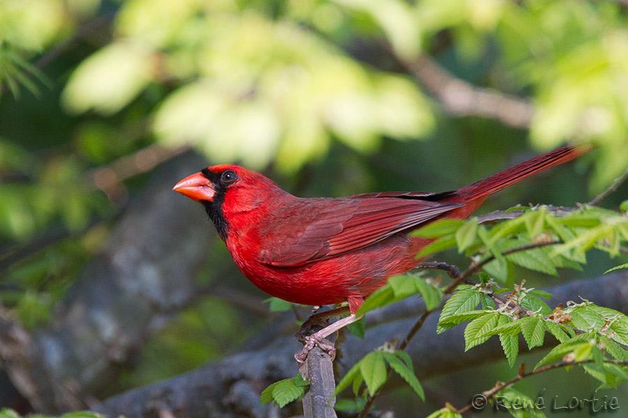 Cardinal rouge - Northern Cardinal