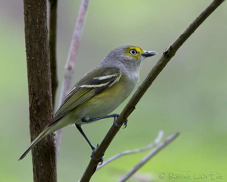 Viréo aux yeux blancs - White-eyed Vireo - Lake Martin Bird Sanctuary