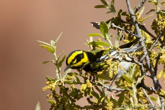 Paruline de Townsend - Townsend's Warbler. En migration vers son territoire de nidification au nord-ouest des États-Unis, en Colombie-Britannique, au Yukon et en Alaska.