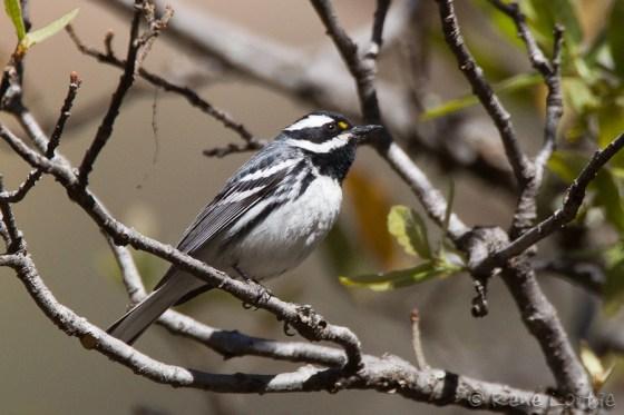 Paruline grise - Black-throated Gray Warbler. Elle est ici dans sont aire de nidification qui commence à l'ouest du Nouveau-Mexique et va jusqu'à la côte du Pacifique.