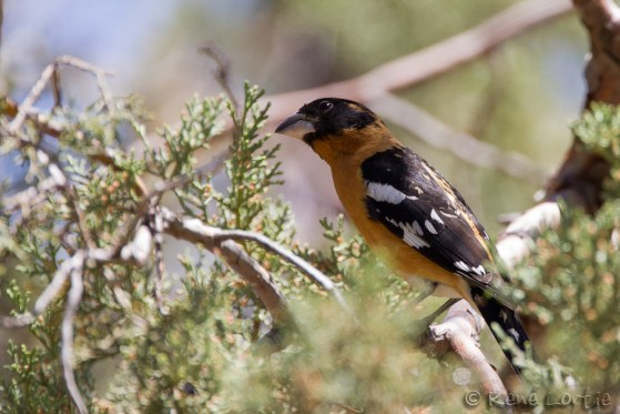 Cardinal à tête noire - Black-headed Grosbeak