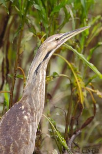 Botaurus lentiginosus