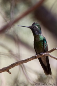 Colibri de Rivoli - Magnificent Hummingbird - Mission, Texas