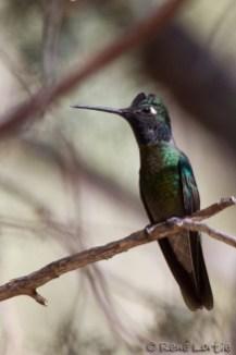 Colibri de Rivoli - Magnificent Hummingbird - Mission, Texas