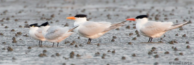 Sternes caugek-Sandwich Tern ; Sterne royale - Royal Tern - Grand Isle, Louisisane
