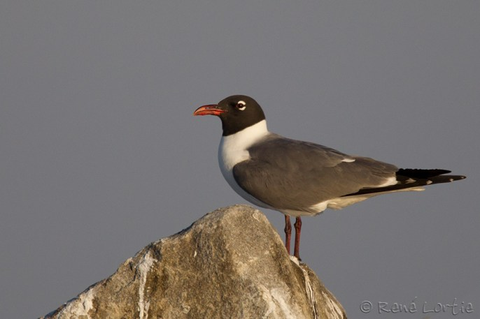 Mouette atricille - Laughing Gull
