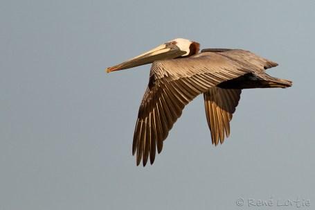 Pélican brun - Brown Pelican