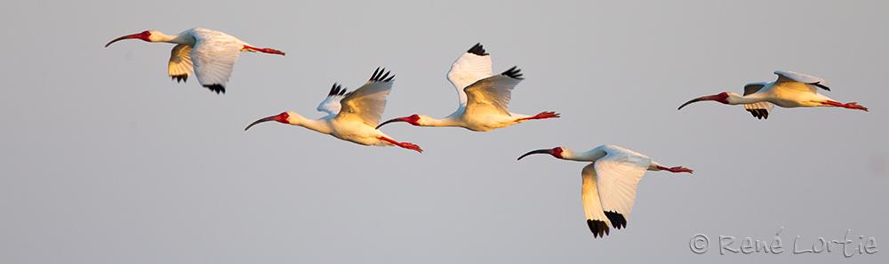 Ibis blancs - White Ibis