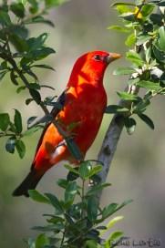 Tangara écarlate - Scarlet Tanager