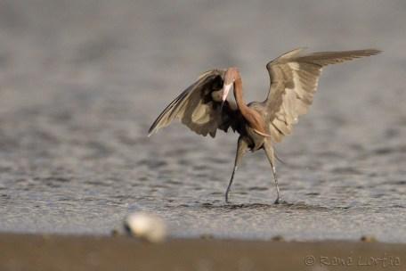 Aigrette roussâtre - Reddish Egret