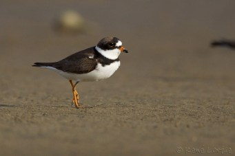 Pluvier semi-palmé - Little Ringed Plover