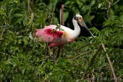 Spatule rosée - Roseate Spoonbill