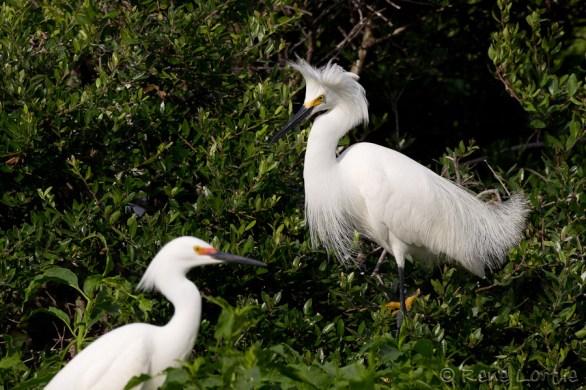 Aigrettes neigeuses - Snowy Egrets