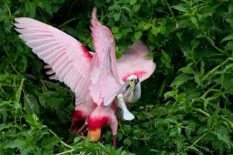 Spatules rosées - Roseate Spoonbills