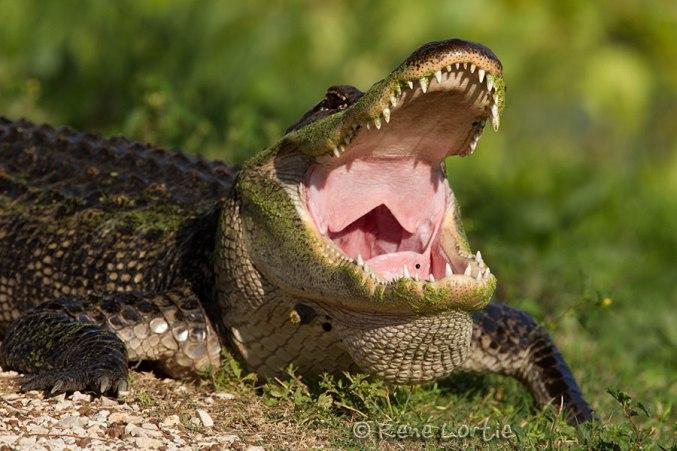 Alligator qui fait AAAAAAAAAH. Les gracieuses aigrettes et spatules rosées passent par là... c'est la vie !!!