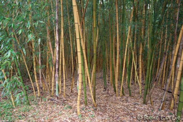 Forêt de bambous. Les troncs font 4 po de diamètre et plus de 20 pieds de haut.