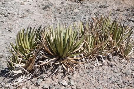 Aloes vera. Ça pousse à l'état sauvage dans le désert
