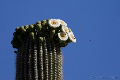 Saguaro en fleurs