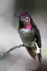 Anna's hummingbird - Phoenix, Arizona