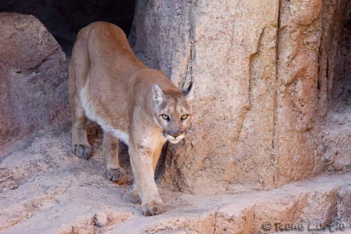 Cougar - Mountain Lion