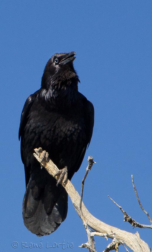 Grand corbeau - Raven - Grand Canyon, Arizona