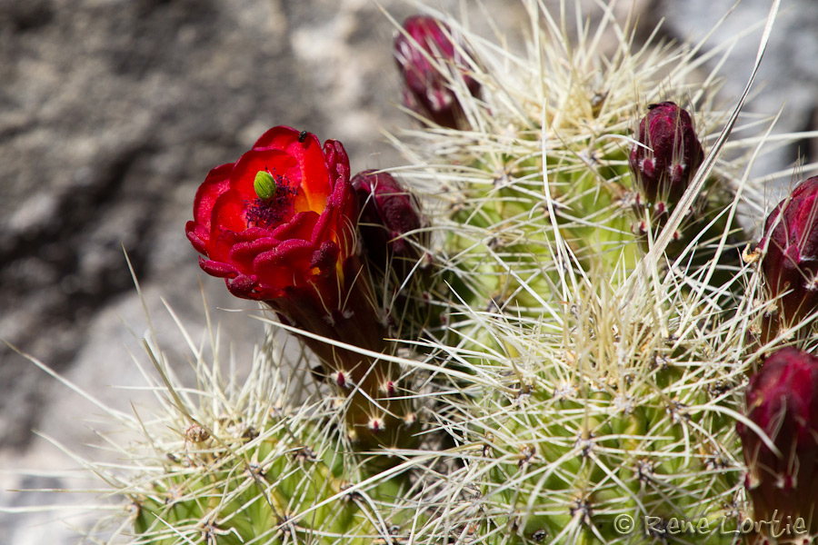 Fleurs de cactus près de Sunset Crater