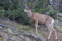 Cerf mulet - Mule Deer