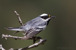 Paruline grise - Black-throated Gray Warbler