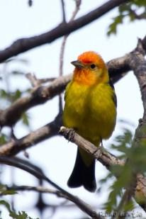 Tangara à tête rouge - Western Tanager