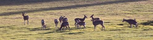 Troupeau de cerfs mulets