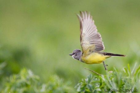 Tyran de l'ouest - Western Kingbird