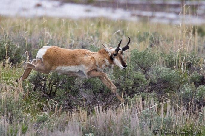 Antilope d'Amérique