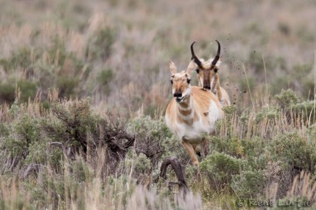 Antilopes d'Amérique