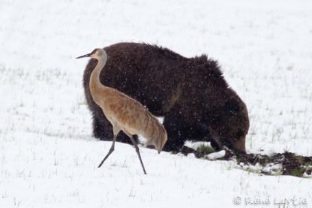 Grizzli et grue du Canada (Sandhill Crane). à un certain moment l'ours s'est fâché et a chassé la grue qui ne s'est même pas envolée. Elle a seulement gardé ses distances.